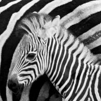 Qual é a cor da zebra?