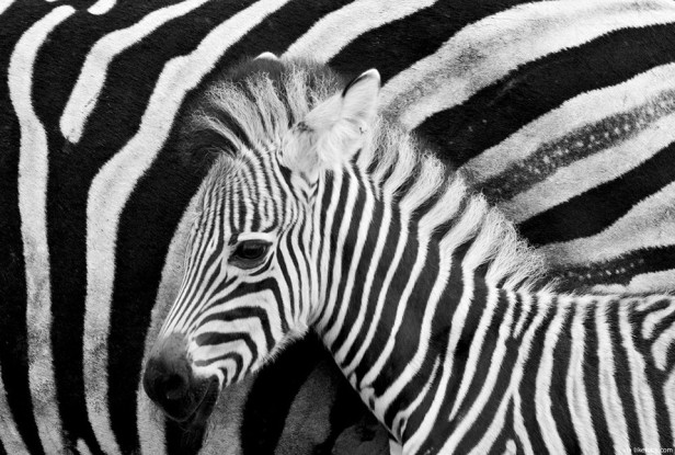 cria-zebra