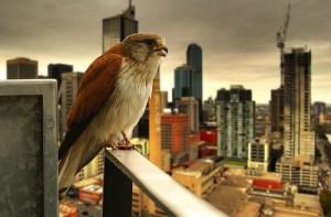 Os pássaros citadinos cantam mais alto
