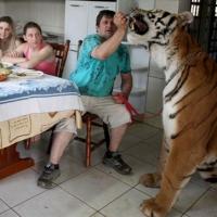 Sete tigres... em casa!