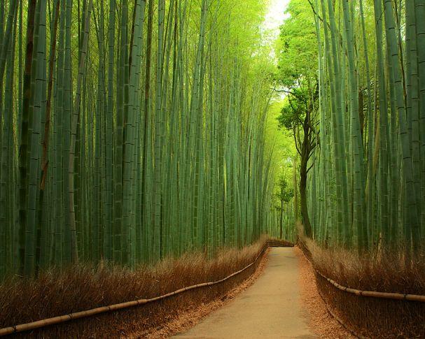 Bamboo Fores (China)