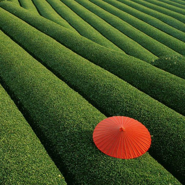 Fields of Tea (China)