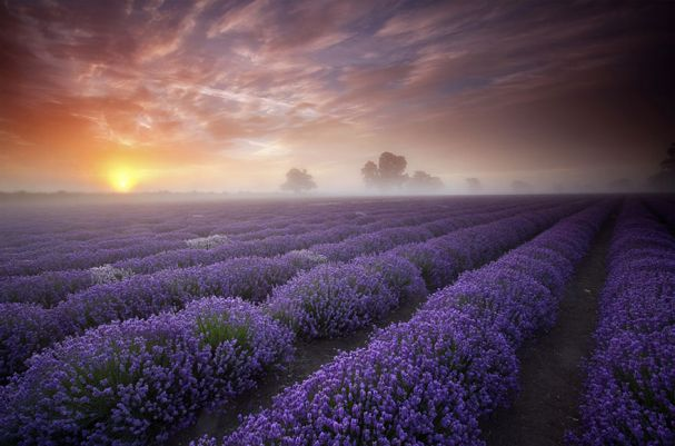 Lavender Fields (França)