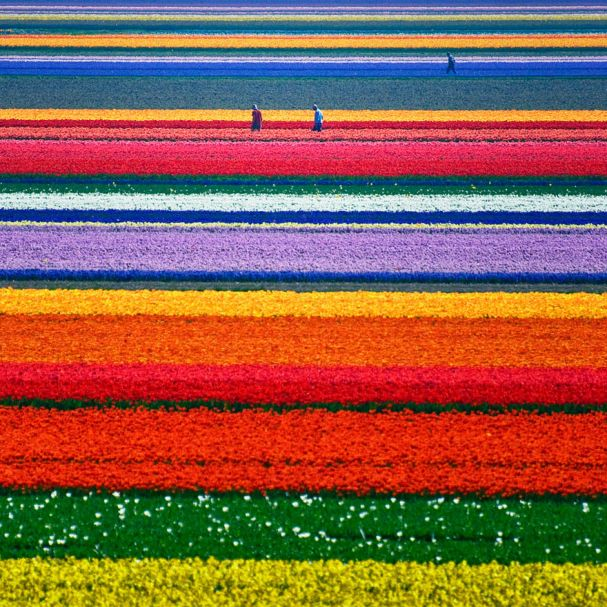 Tulip Fields (Holanda)