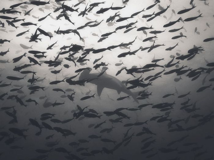 http://photography.nationalgeographic.com/photography/photo-of-the-day/hammerhead-shark-galapagos/