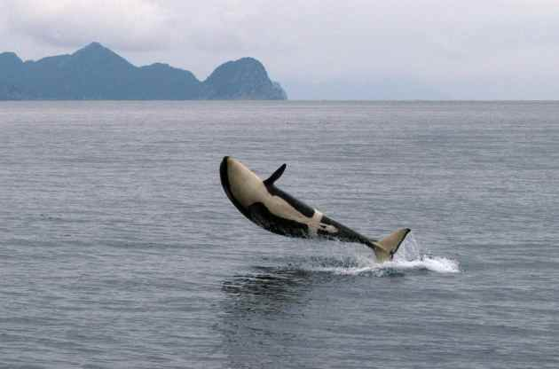 04_orca_killer_whale_gallery_0