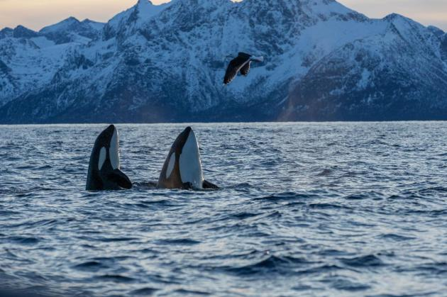 10_orca_killer_whale_gallery_0